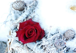 Red rose in snow pic